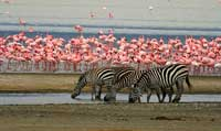 Zebras come and drink among the flamingos.