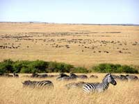 The herds of herbivores in the Serengeti plains