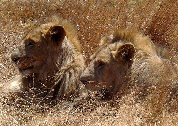 Two lions resting inside the crater